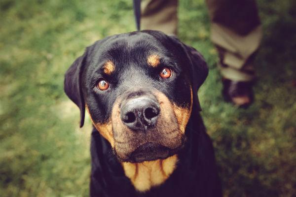 Foto de perro rottweiler