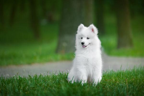 [samoyed cute puppies]