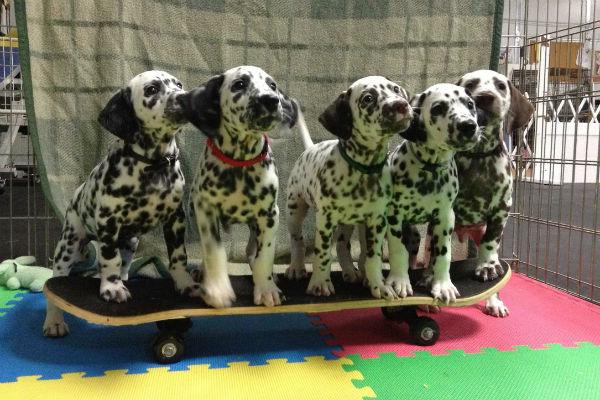 cachorros dálmata