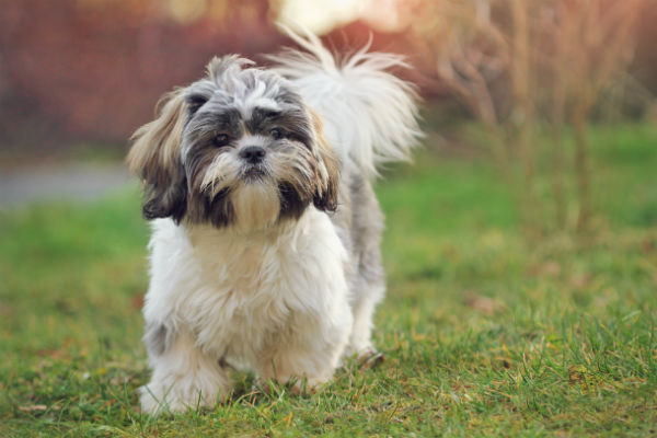 what does a shih tzu dog look like things you didn t know about the shih tzu american 6246