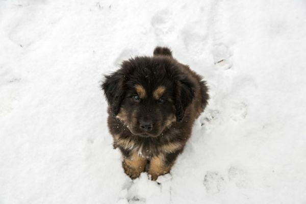 cachorros lindos mastín tibetano