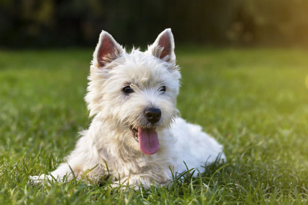 lengua de perro