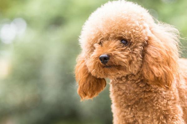perro caniche de juguete