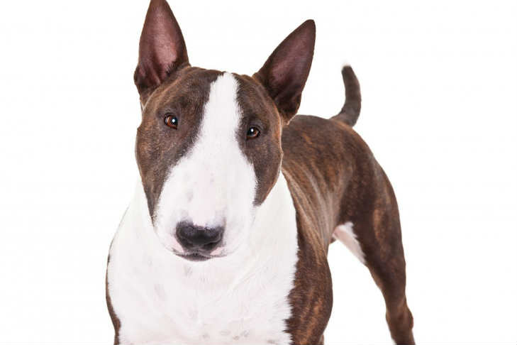 minature bull terrier miniature bull terrier dog breed information american 4455