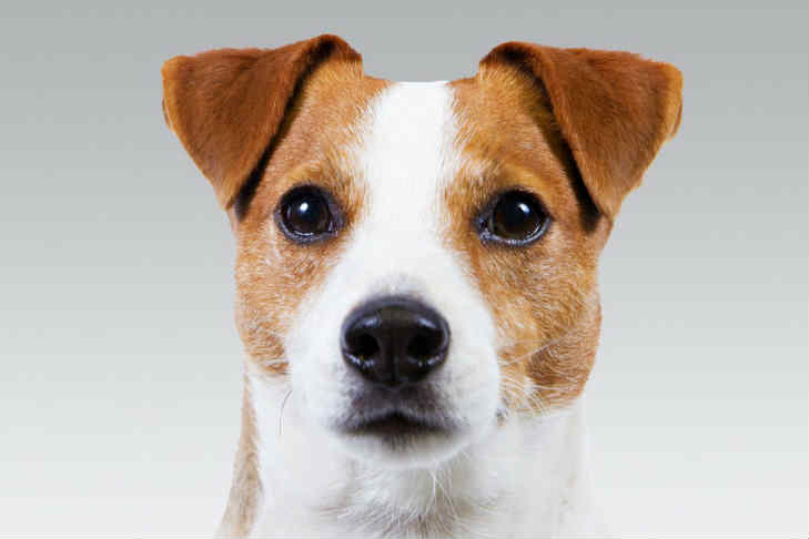 russell terrier breed russell terrier dog breed information american kennel club 1605