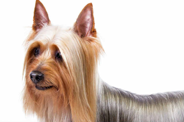 silk terrier silky terrier dog breed information american kennel club 1819