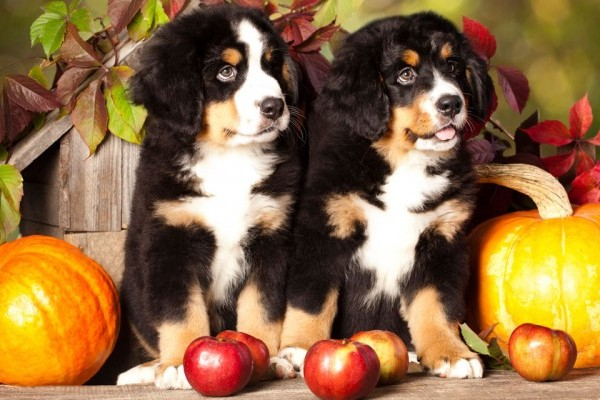 Image result for can dogs eat apples