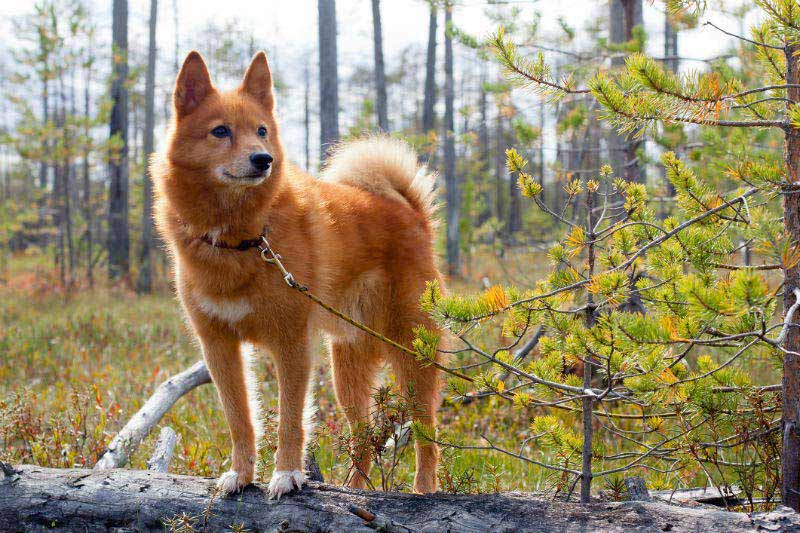7 Things You Didn't Know About The Finnish Spitz – American Kennel ...