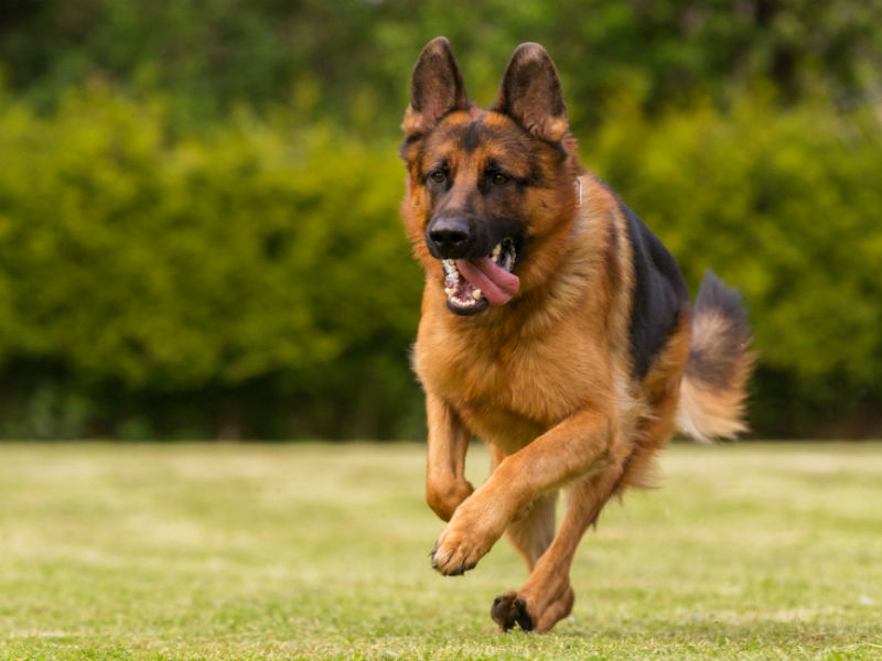 What Was the German Shepherd Bred to Do? – American Kennel Club