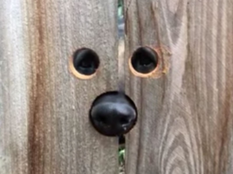 "Neighbor Builds ""Peek-A-Boo"" Hole in Fence for Friendly German Shepherd –  American Kennel Club"