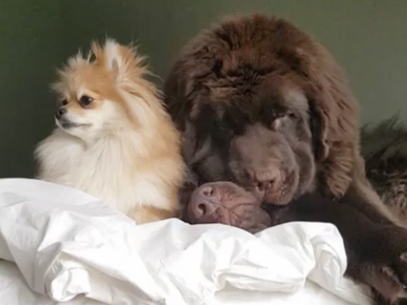 giant pomeranian pomeranian adorably snuggles with giant newfies american 5162