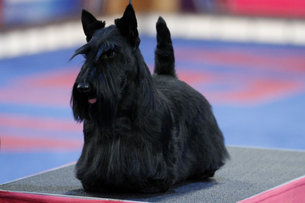 scottish terrier don t small dogs that don t shed 7395