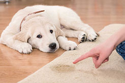 How To Potty Train a Puppy, A Comprehensive Guide for Success - thumbnail