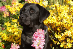 Breaking News: The Labrador Retriever Wins Top Breed for the 26th Year In a Row